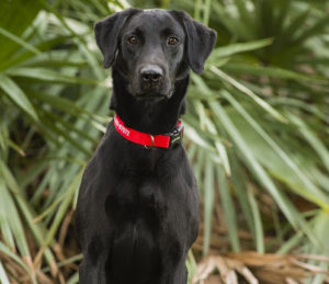 Started Dog For Sale - Oscar Labrador Retriever