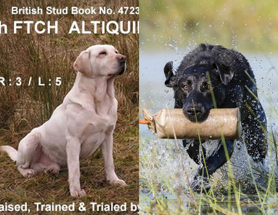 Labrador Puppies from Egan and Tulip